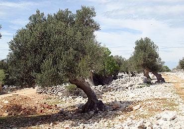 Camino del Olivo